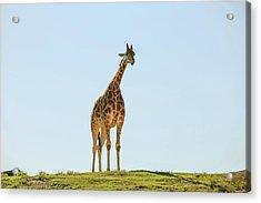Lone Giraffe Acrylic Print by Daniela Duncan