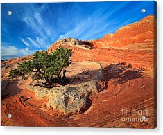 Lone Juniper Acrylic Print by Inge Johnsson