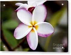 Lone Plumeria Acrylic Print by Thanh Tran