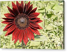 Lone Red Sunflower Acrylic Print by Kerri Mortenson