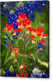 Lone Star Blooms Acrylic Print by Inge Johnsson