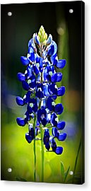 Lone Star Bluebonnet Acrylic Print