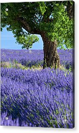 Acrylic Print featuring the photograph Lone Tree In Lavender by Brian Jannsen