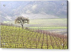 Lone Tree In The Vineyard Acrylic Print