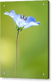 Lone Wildflower Acrylic Print by Bill LITTELL
