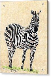 Lone Zebra Acrylic Print by Audrey Van Tassell