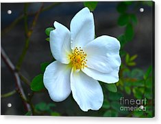 Lonely Blossom... Acrylic Print