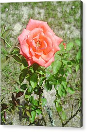 Lonely Flower Acrylic Print by Lee Farley