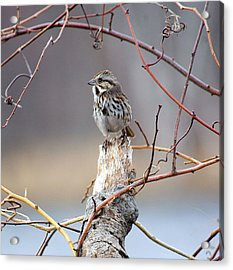 Lonely Sparrow Acrylic Print by Martin Goldenberg