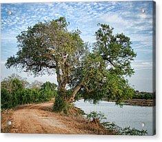 Lonely Tree Acrylic Print by Sanjeewa Marasinghe