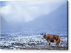 Lonely Yak In The Himalayas, Nepal Acrylic Print