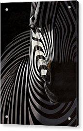 Lonely   Zebra Acrylic Print