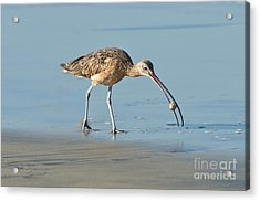 Long-billed Curlew Catching Crab Acrylic Print