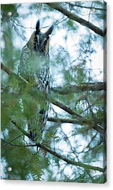 Long-eared Owl 1 Acrylic Print