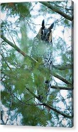 Long-eared Owl 2 Acrylic Print