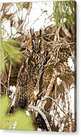 Long-eared Owl Asio Otus Acrylic Print by Photostock-israel