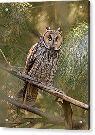 Long-eared Owl Acrylic Print by Doug Herr
