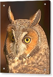 Long-eared Owl Acrylic Print by Nancy Landry