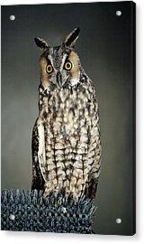 Long-eared Owl Acrylic Print by Paulette Thomas
