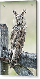 Long Eared Owl Acrylic Print by Tim Gainey