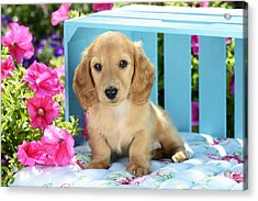 Long Eared Puppy In Front Of Blue Box Acrylic Print by Greg Cuddiford