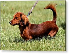 Long Haired Dachshund Acrylic Print