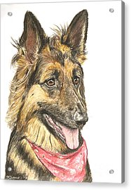 Long Haired German Shepherd In Red Bandana Acrylic Print by Kate Sumners