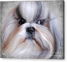 Long Haired Shih Tzu Acrylic Print