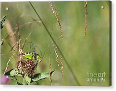 Acrylic Print featuring the photograph Long-horned Katydid by Jivko Nakev