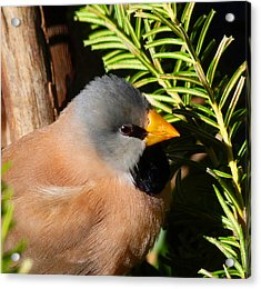 Long-tailed Finch Acrylic Print by Margaret Saheed