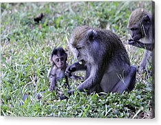 Acrylic Print featuring the photograph Long Tailed Macaque Family by Shoal Hollingsworth