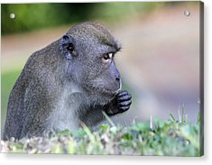 Acrylic Print featuring the photograph Long Tailed Macaque Feeding by Shoal Hollingsworth
