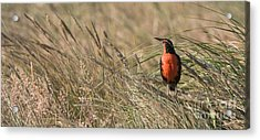 Long-tailed Meadowlark Acrylic Print by John Shaw