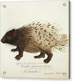 Long Tailed Porcupine From Sumatra Acrylic Print by British Library