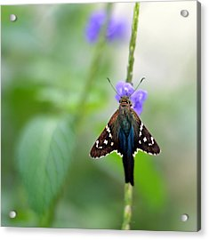 Long Tailed Skipper Acrylic Print by Laura Fasulo