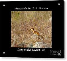 Long-tailed Weasel Cub Acrylic Print by Dennis Hammer