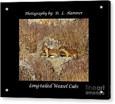 Long-tailed Weasel Cubs Acrylic Print by Dennis Hammer