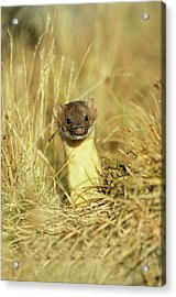 Long-tailed Weasel (mustela Frenata Acrylic Print by Richard and Susan Day