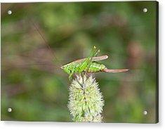 Long-winged Conehead Bush-cricket Acrylic Print by Bob Gibbons