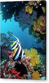 Longfin Bannerfish Acrylic Print