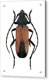 Longhorn Beetle Acrylic Print by F. Martinez Clavel