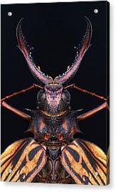 Longhorn Beetle Macrodontia Cervicornis Acrylic Print by Robert Jensen