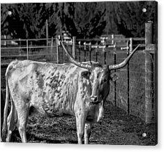 Longhorn Steer Down Acrylic Print