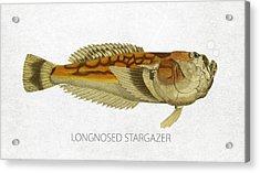 Longnosed Stargazer Acrylic Print
