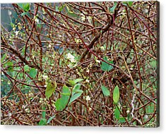 Lonicera X Purpusii Winter Beauty. Acrylic Print by Adrian Thomas/science Photo Library