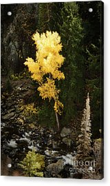 Lonly Aspen Acrylic Print by Jim  Calarese