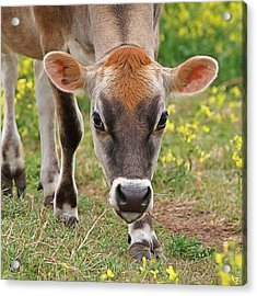 Look Into My Eyes - Jersey Cow - Square Acrylic Print