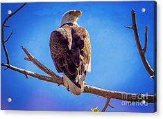 Looking Right Acrylic Print by Bob Hislop