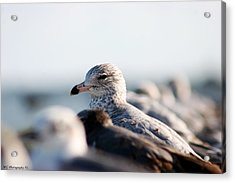 Looking Seagull Acrylic Print