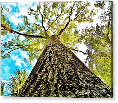 Looking Up Florida Sky And Tree Acrylic Print by Judy Via-Wolff